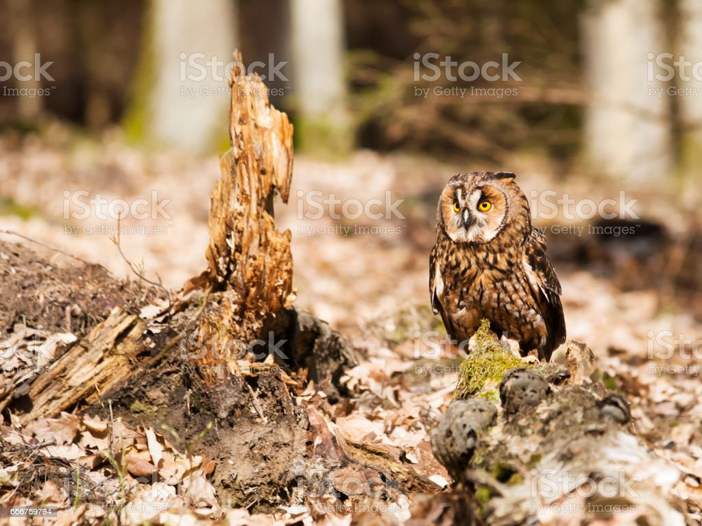 Long-eares owl siting on stump in forest - Asio otus foto stock royalty-free