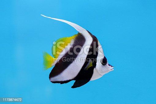 istock Longfin bannerfish 1173874472