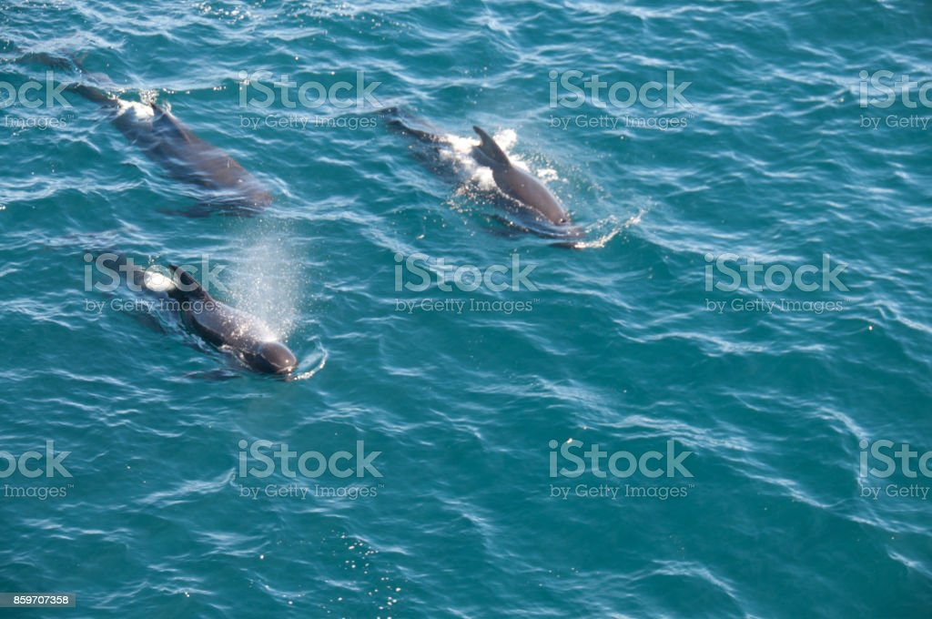 Long-finned Pilot Whales stock photo