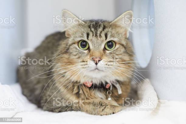 Longhair brown tabby cat in an animal rescue picture id1139565995?b=1&k=6&m=1139565995&s=612x612&h=vvp4fltbm7kellrs33ujopvaxjikrsruvbhzvv0zqqo=