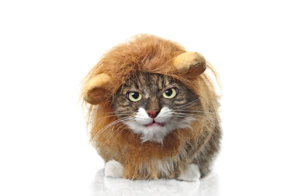 Longhair cat dressed up as a lion looking grumpy to the camera. Isolated on white background. Longhair cat dressed up as a lion looking grumpy to the camera. Isolated on white background. pet clothing stock pictures, royalty-free photos & images
