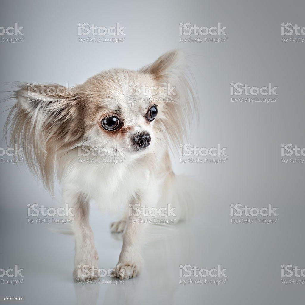 Longhair chihuahua. Small dog sitting, looking at the camera stock photo