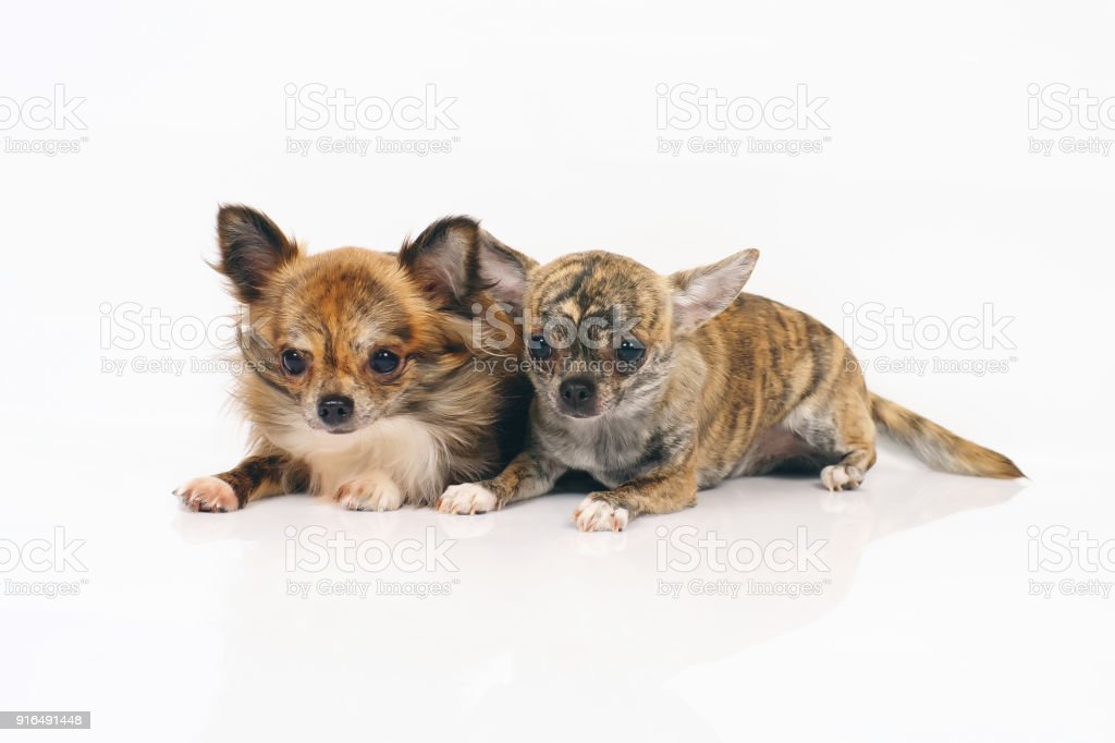 Long-haired and short-haired brindle Chihuahua dogs lying indoors side by side on a white background stock photo