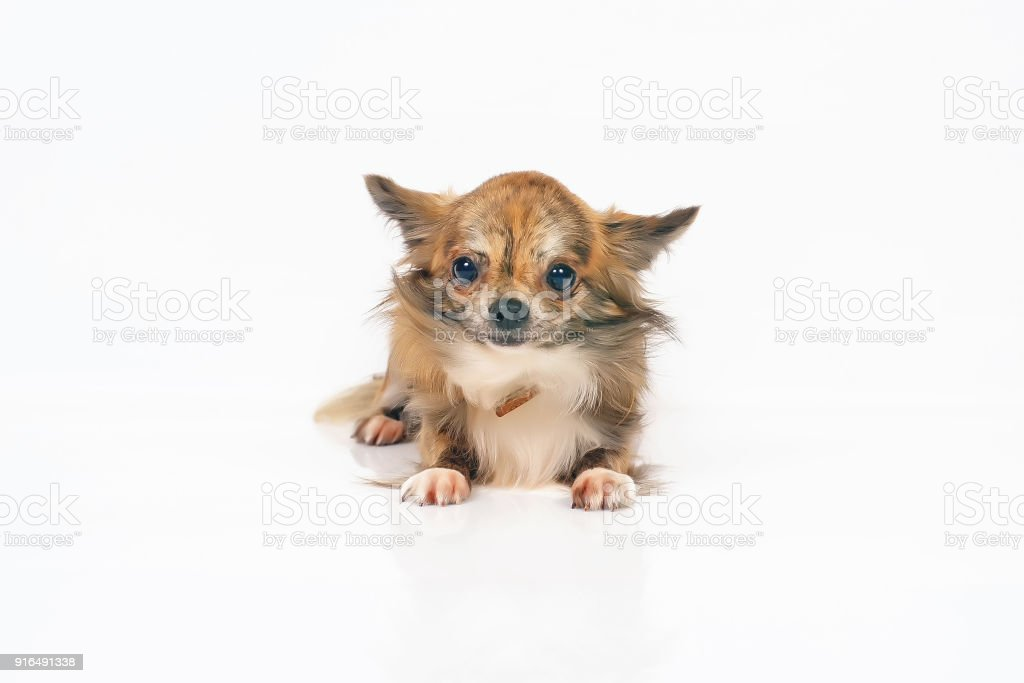 Long-haired brindle and white Chihuahua dog lying indoors on a white background stock photo