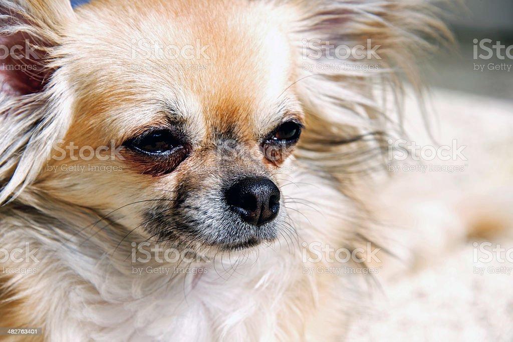 Cucciolo Chihuahua A Pelo Lungo Fotografie Stock E Altre Immagini