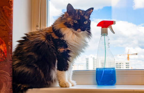 A long-haired fluffy three-colored cat sits on a clean window, next to a spray bottle with a wiper stock photo