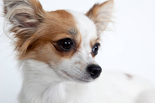 Longhaired miniature chihuahua closeup isolated on white stock photo