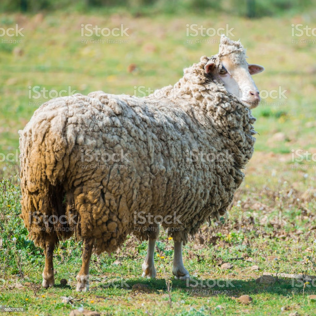 Long-haired sheep stock photo