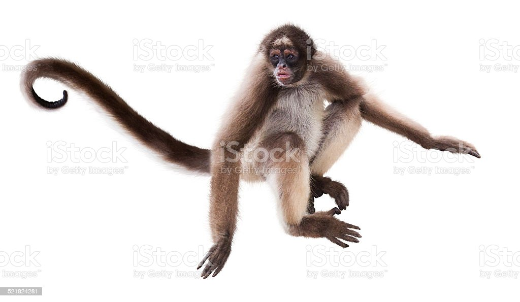 Longhaired Spider Monkey Stock Photo More Pictures Of Animal Istock