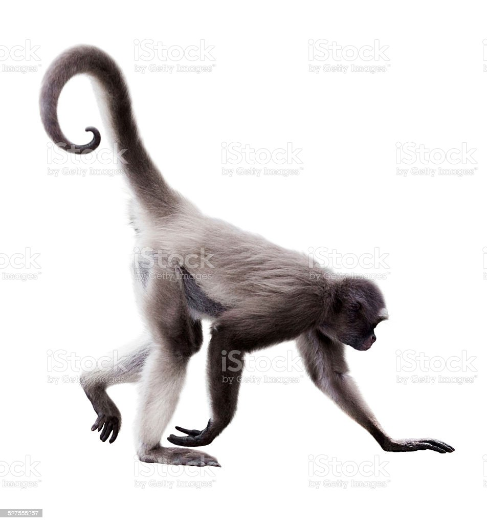 long-haired spider monkey stock photo