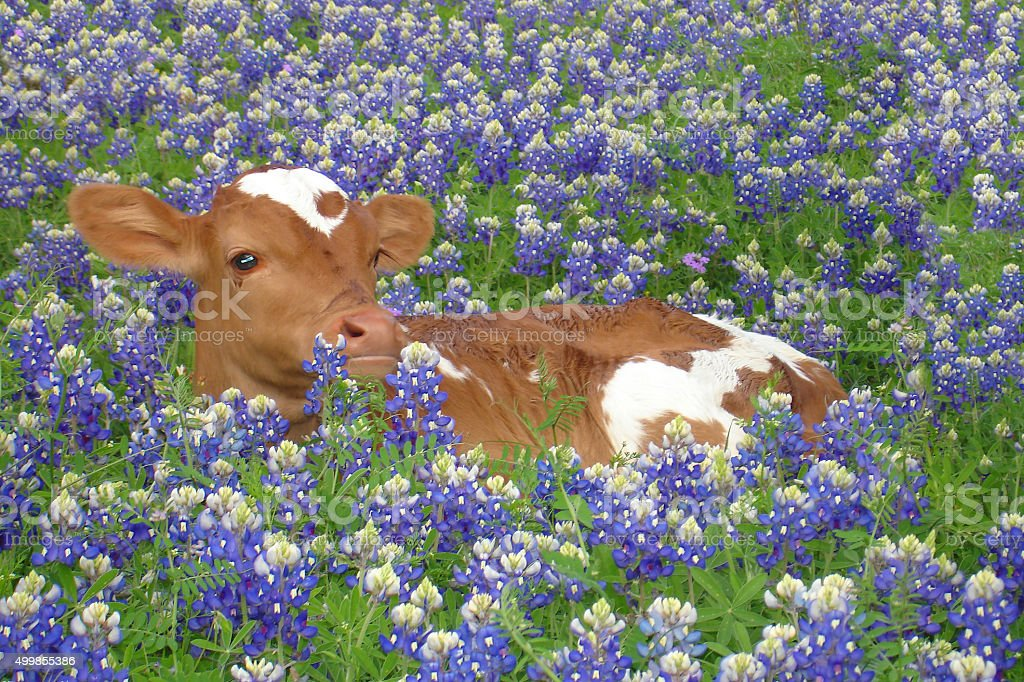 Longhorn and Bluebonnets stock photo