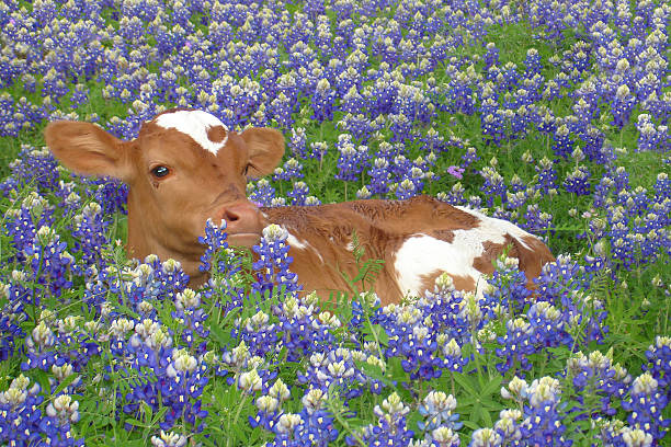longhorn and bluebonnets - bluebonnet stock photos and pictures