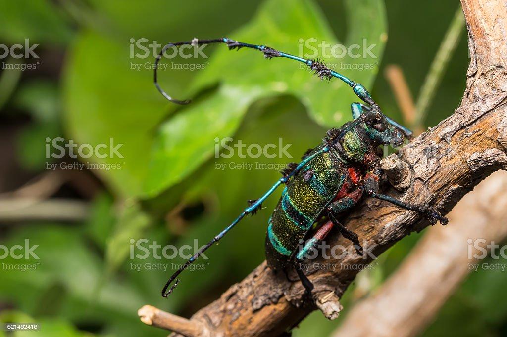 Longhorn beetle (Diastocera wallichi), Beetle foto stock royalty-free