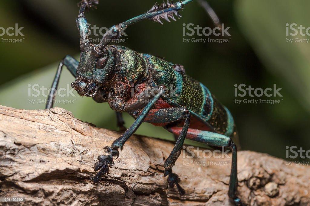 Longhorn beetle (Diastocera wallichi), Beetle photo libre de droits