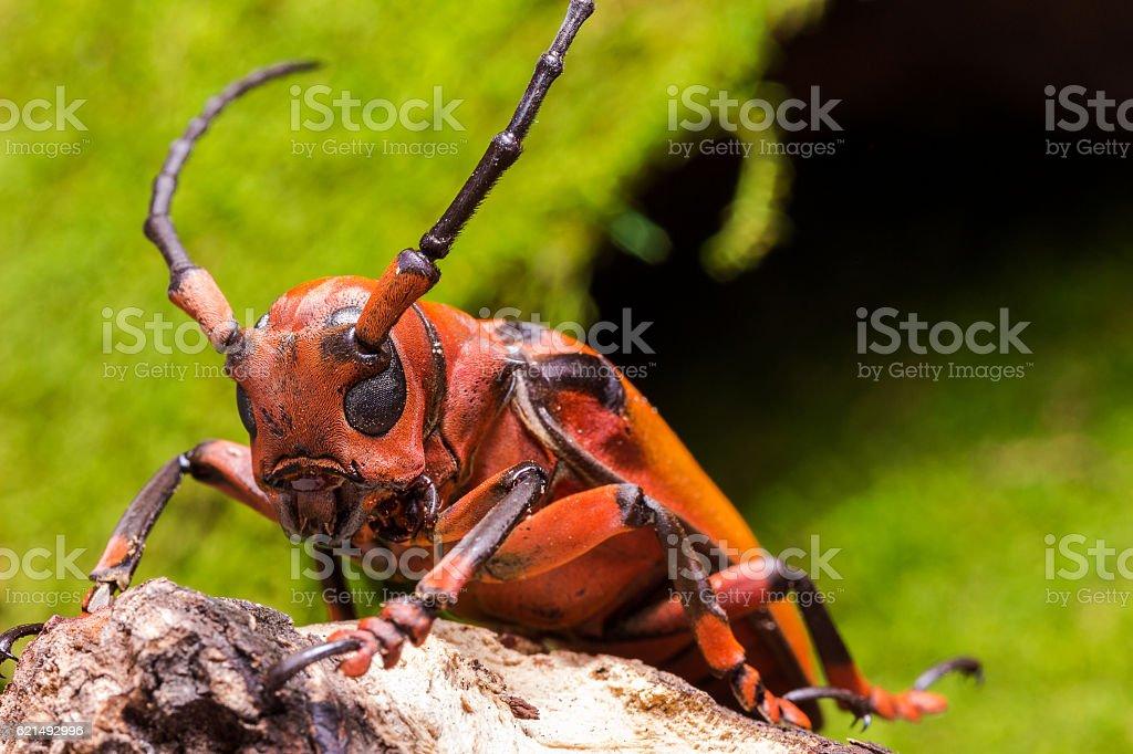 Longhorn beetle (Loesse sanguinolenta), Beetle photo libre de droits