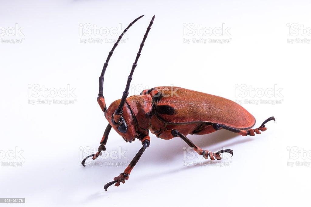 Longhorn beetle (Loesse sanguinolenta), Beetle Lizenzfreies stock-foto