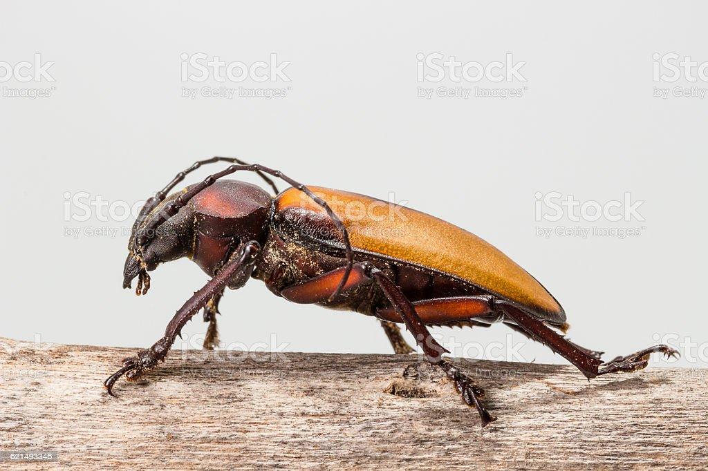 Longhorn beetle (Rhaphipodus fruhstorferi), Beetle photo libre de droits