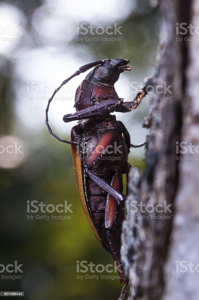 Longhorn beetle (Rhaphipodus fruhstorferi), Beetle foto stock royalty-free