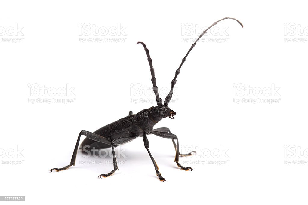 Longhorn beetle isolated on white Lizenzfreies stock-foto