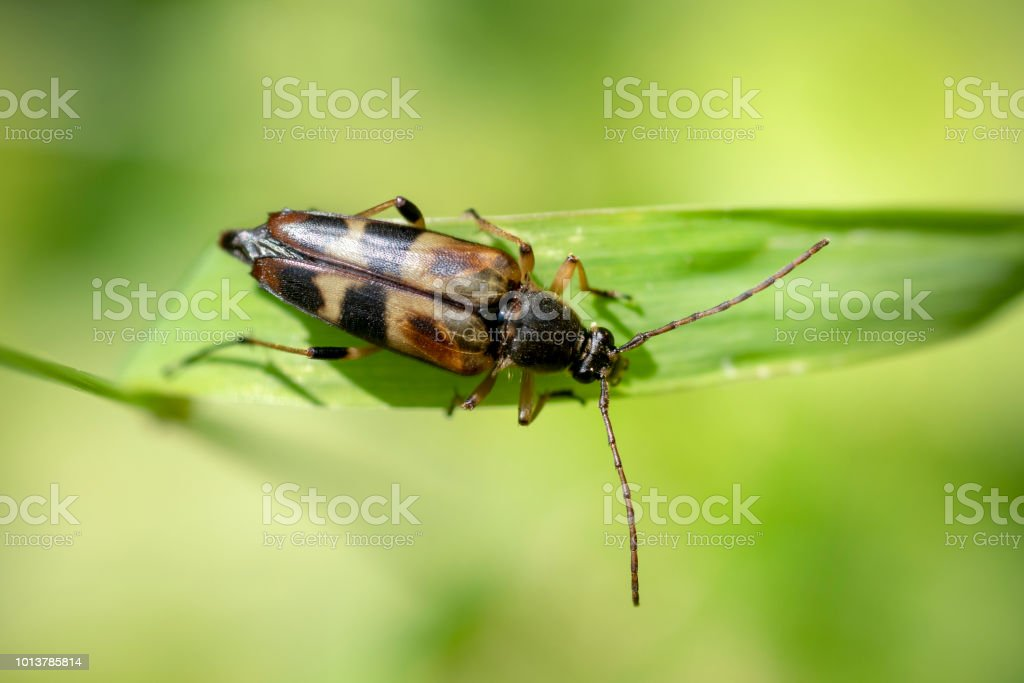 longhorn beetle, Leptura obliterata stock photo
