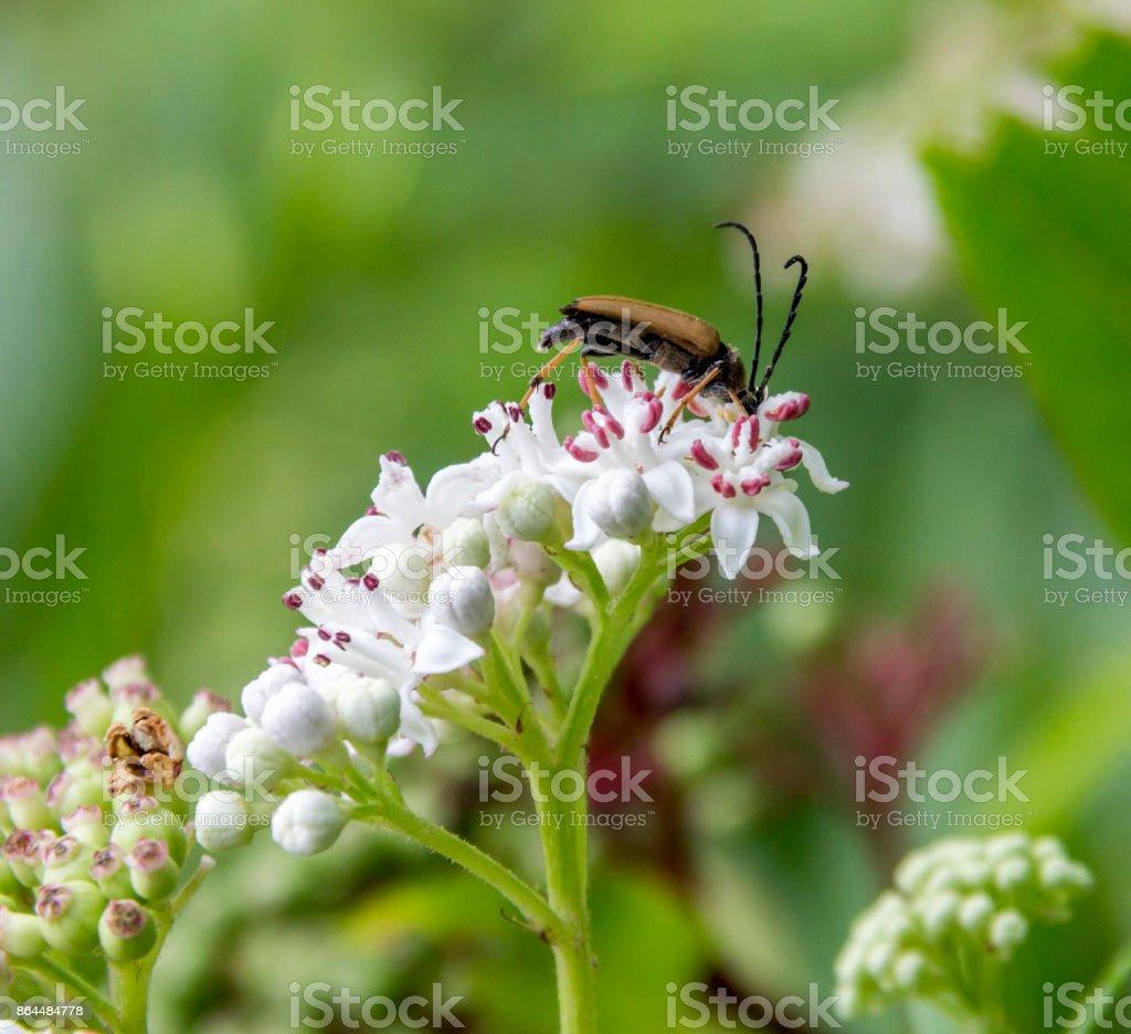 longhorn beetle on flower stock photo