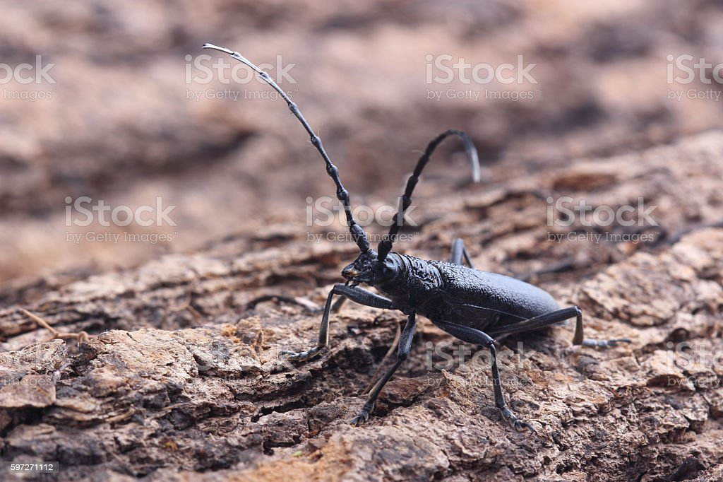 Longhorn beetle on tree Lizenzfreies stock-foto