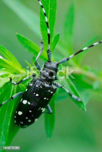 istock Longhorn beetle 164875280