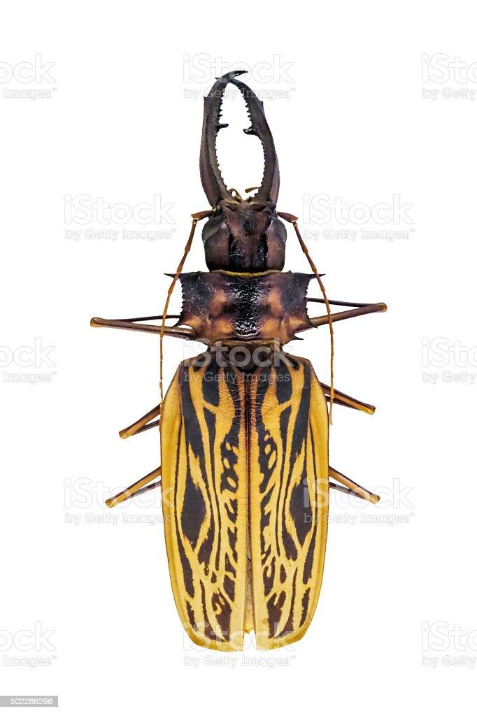 Longhorn Beetle stock photo