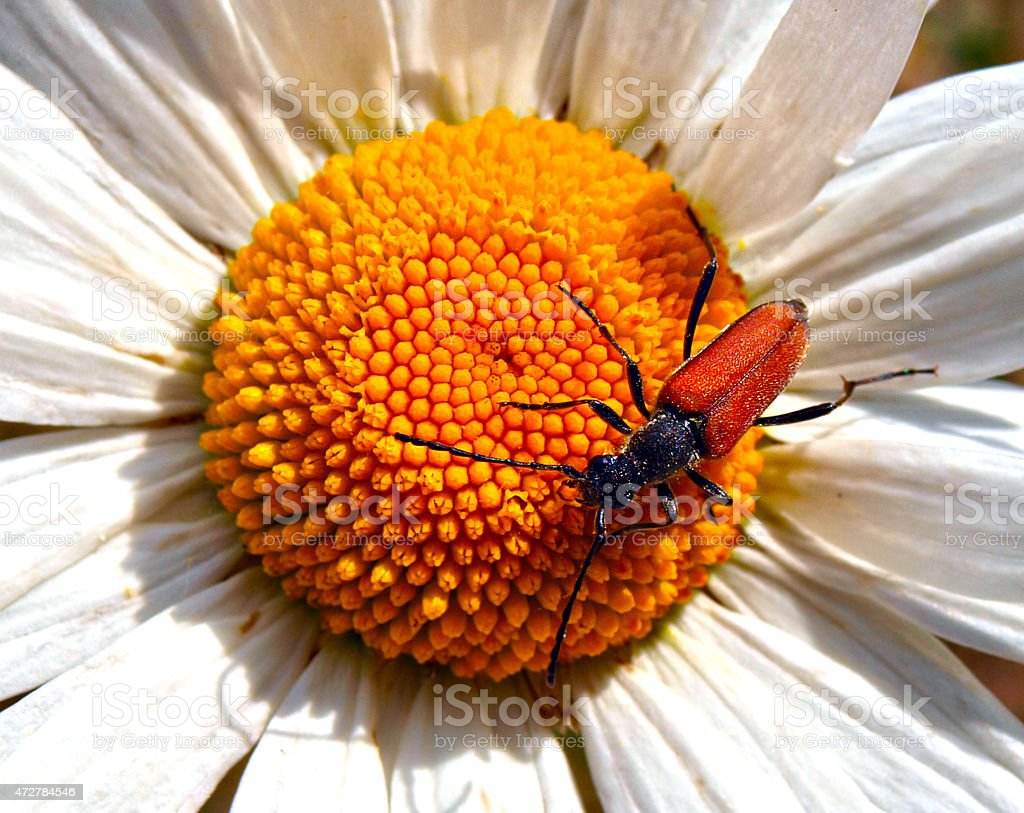 Longhorn beetle scales the petals of an ox eye daisy. stock photo
