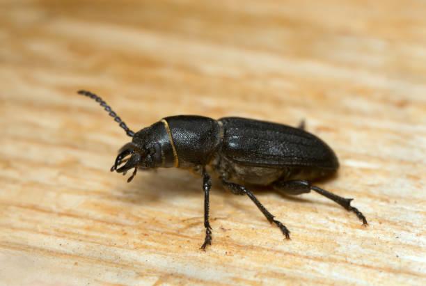 Longhorn beetle Spondylis buprestoides attracted to fresh wood stock photo