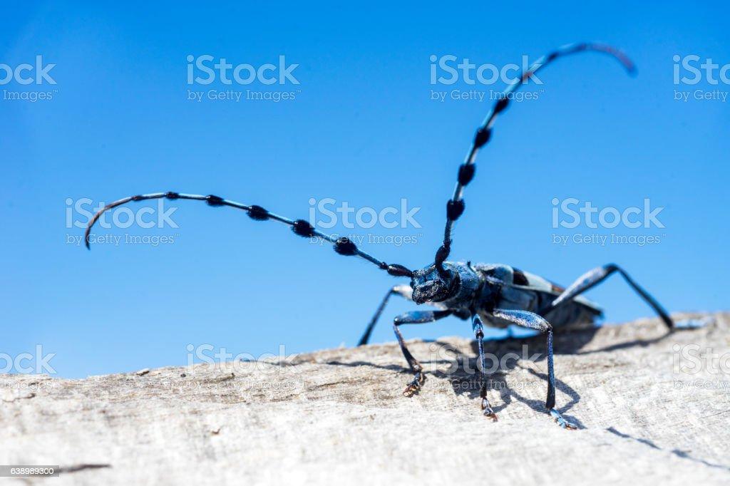 Longhorn beetle,Cerambycidae 2 stock photo