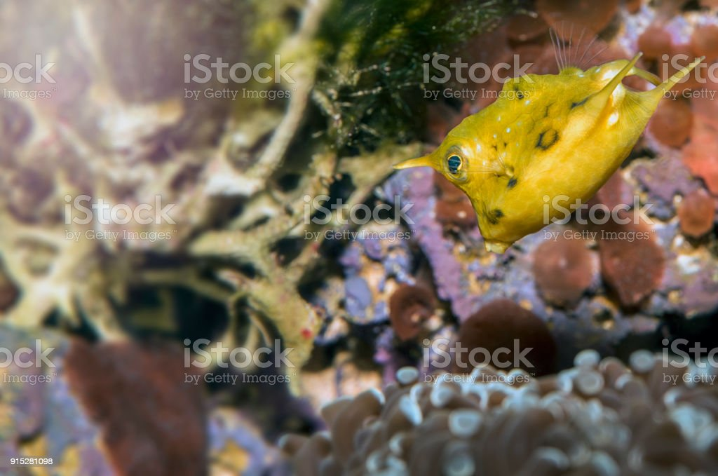 Longhorn boxfish (Lactoria cornuta) stock photo
