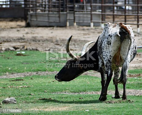 585090418istockphoto longhorn bull in a pasture, grazing, standing 1177699962
