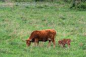 Longhorn calf at the Wichita Mountains National Wildlife Refuge near Lawton, Oklahoma