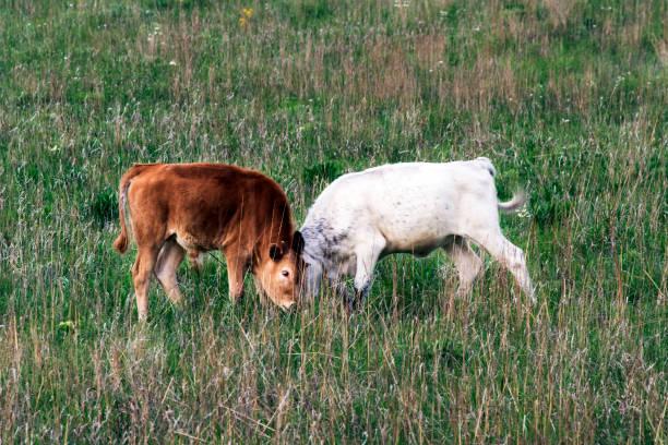 Longhorn Calves stock photo