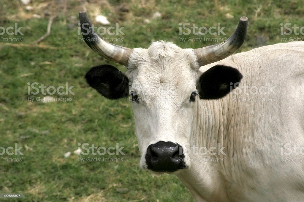 Longhorn Cattle Cow stock photo