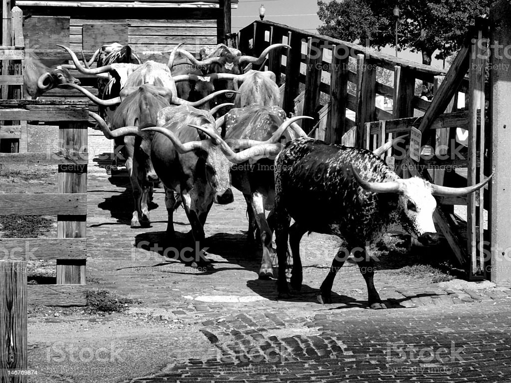 Longhorn cattle drive. royalty-free stock photo