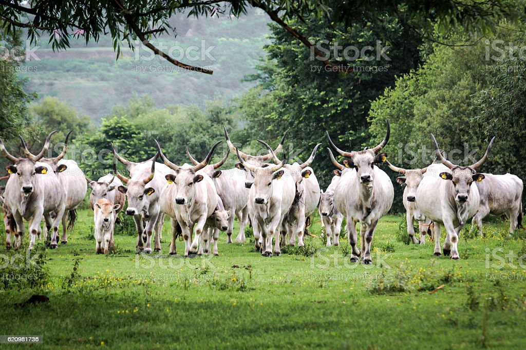 Longhorn cattle drove foto royalty-free