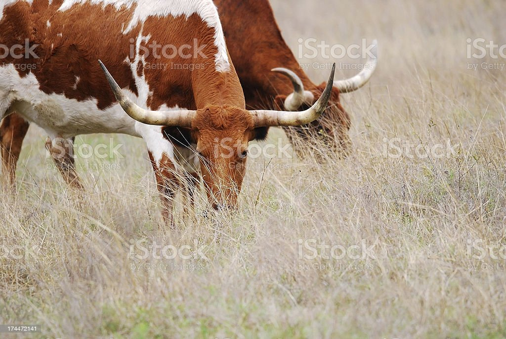 Longhorn Cattle Grazing royalty-free stock photo
