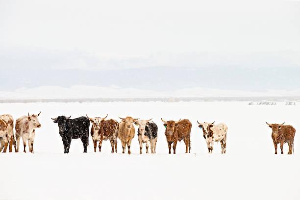 Longhorn Cattle in Line stock photo