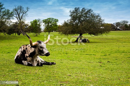 585090418 istock photo Longhorn Cattle Relaxing on a Hill Country Ranch in Texas 1140235059