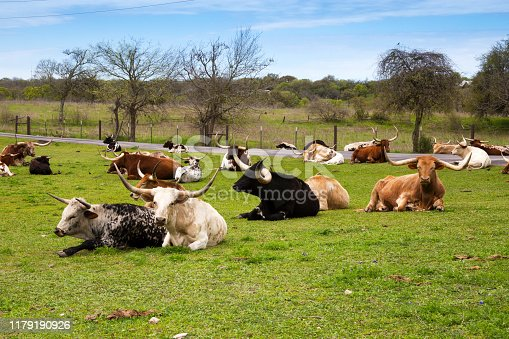 585090418istockphoto Longhorn Cattle Resting in a Green Pasture 1179190926