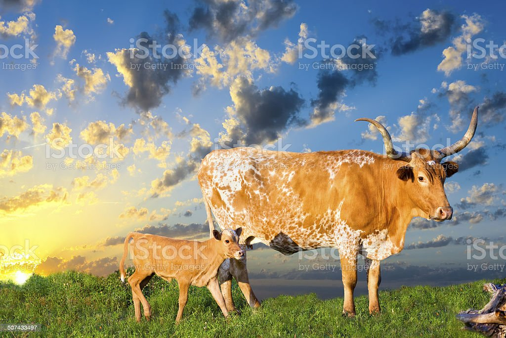 Longhorn Cow and Calf Grazing at Sunrise stock photo