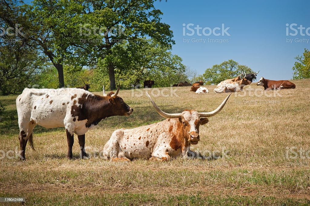 Longhorn Cow and Calf royalty-free stock photo