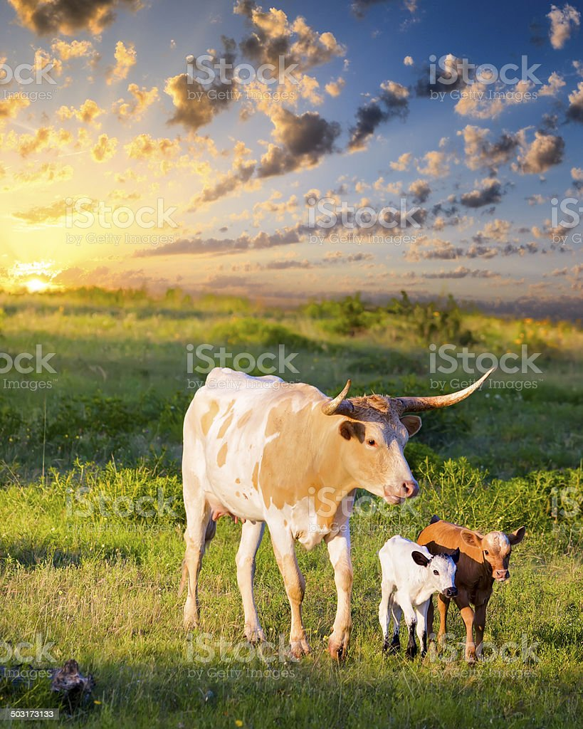 Longhorn Cow and Calves Grazing at Sunrise stock photo