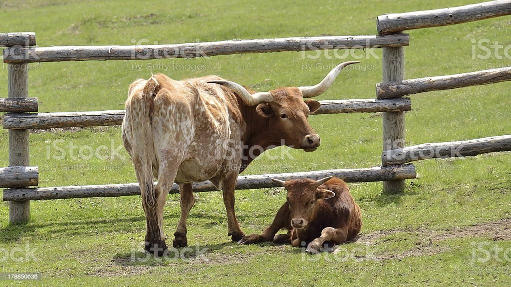 longhorn cow royalty-free stock photo
