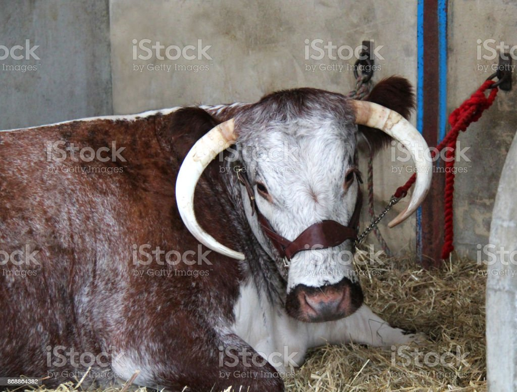 Longhorn Cow. stock photo