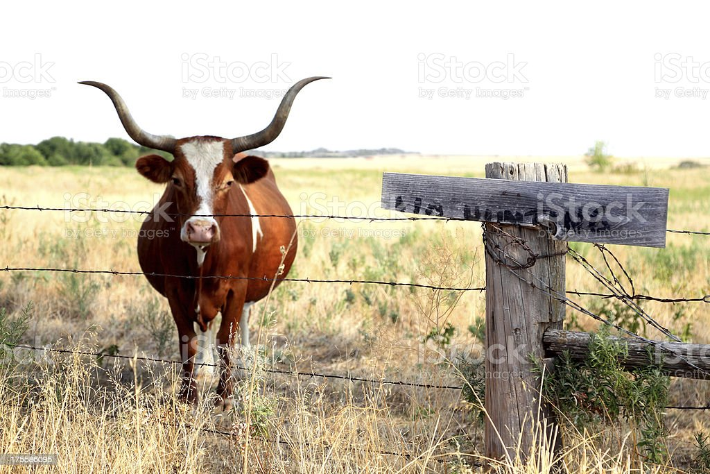 Longhorn Cow with No Hunting Sign stock photo