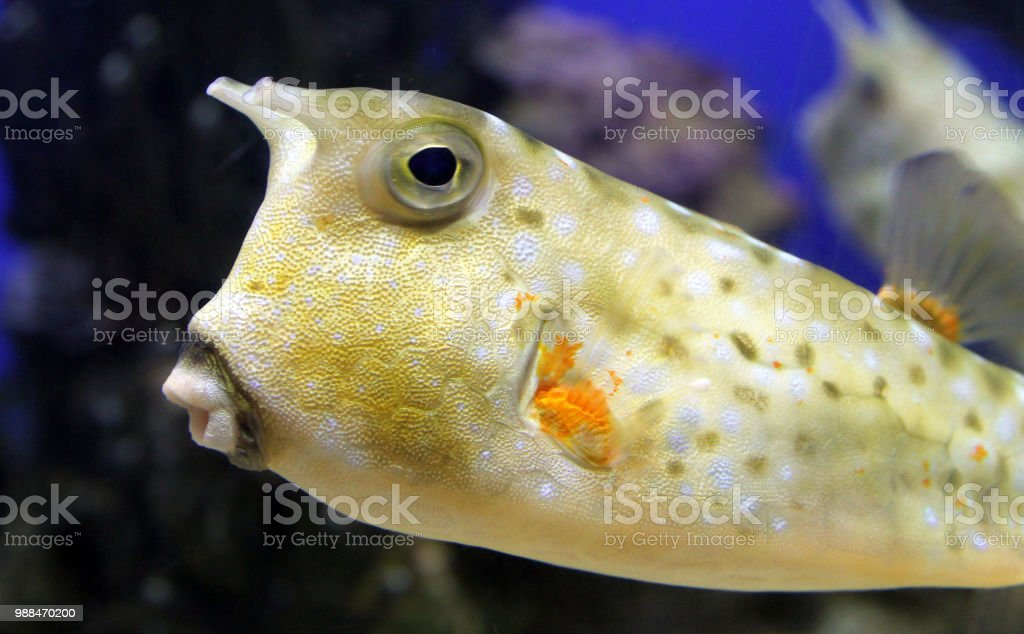 Lactoria cornuta of gehoornde koffervis (Lactoria cornuta) foto