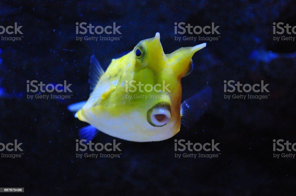 Longhorn cowfish stock photo